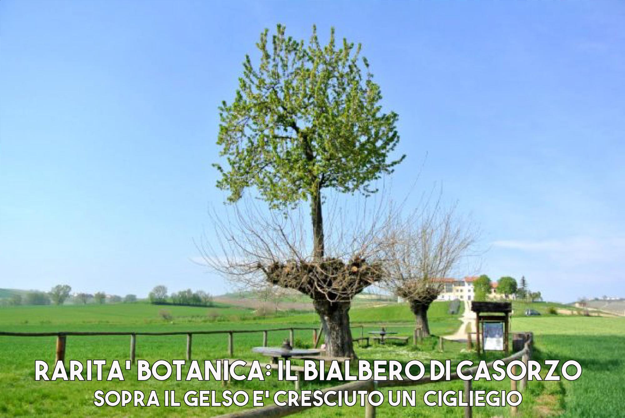 bialbero-casorzo-1629885854.png